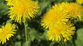 Gele paardebloembloemen op de weide stock video