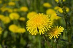 Gele paardebloemen Stock Foto