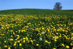 Gele paardebloemen in de lente Royalty-vrije Stock Afbeelding