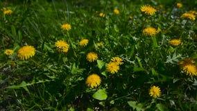 Gele paardebloemen in de tuin stock video