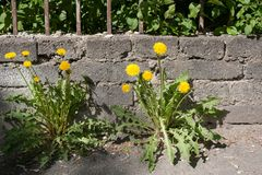 Gele paardebloemen die net op stoep dichtbij steenmuur groeien Stock Afbeeldingen