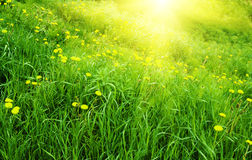 Gele paardebloemen en de lente Royalty-vrije Stock Fotografie
