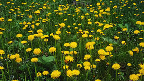 Gele paardebloemen op een gebied Stock Foto
