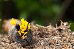 Gele paddestoelen op login het regenachtige seizoen stock afbeelding