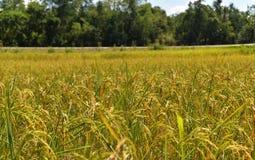 Gele padievelden stock afbeeldingen
