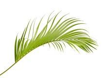 Gele palmbladen Dypsis lutescens of Gouden rietpalm, Areca palmbladen, Tropisch die gebladerte op witte achtergrond wordt geïsole royalty-vrije stock afbeeldingen