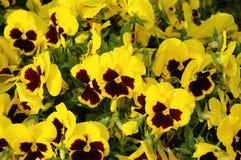Gele Panies stock afbeeldingen