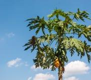 Gele papaja NEF Stock Foto's