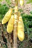 Gele papaja op boom Stock Foto's