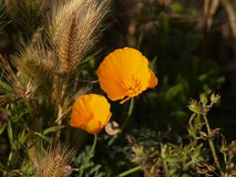 Gele papaver Stock Foto
