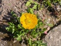 Gele papaverbloem Stock Foto's