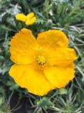 Gele papaverbloem Royalty-vrije Stock Afbeeldingen