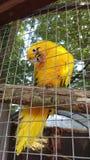 Gele papegaai in kooi Royalty-vrije Stock Foto's