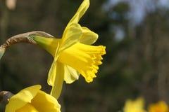 Gele Pasen-lelie op natuurlijke achtergrond/gele paaslelie in weide Stock Foto