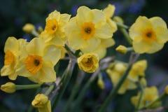 Gele Pasen-lelie op natuurlijke achtergrond /gele paaslelie in weide stock afbeelding