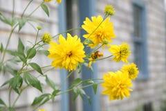 Gele Perennials royalty-vrije stock afbeelding