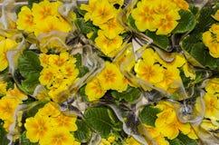 Gele petunia Royalty-vrije Stock Foto