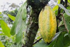 Gele peul van cacao Arriba in Ecuador Royalty-vrije Stock Afbeelding