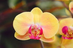 Gele Phalaenopsis-Close-up Royalty-vrije Stock Afbeeldingen
