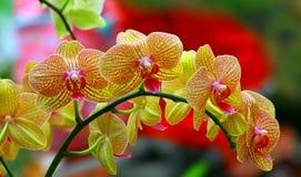 Gele phalaenopsisorchideeën stock foto