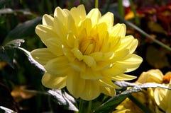 Gele pioenbloem royalty-vrije stock afbeelding