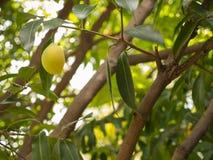 Gele Plum Mango Fruit Hanging royalty-vrije stock afbeeldingen