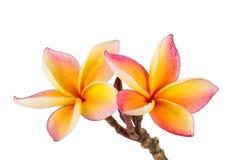 Gele Plumeria-bloemen Royalty-vrije Stock Afbeeldingen