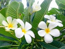 Gele plumeria, Leelawadee-bloemen Stock Afbeeldingen