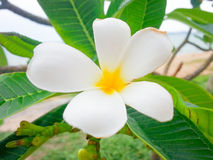 Gele plumeria, Leelawadee-bloemen Stock Afbeelding