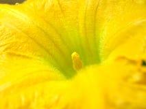 Gele pompoenbloem Royalty-vrije Stock Foto's
