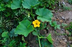 Gele pompoenbloem Royalty-vrije Stock Afbeeldingen