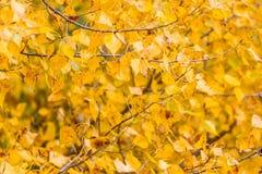 Gele populierbladeren Stock Afbeelding
