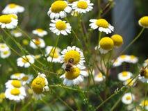 gele prairiemadeliefjes stock afbeeldingen