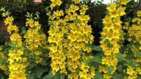 Gele punctata van kattestaartlysimachia in bloem stock videobeelden
