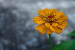 Gele pureviana van Zinnia Royalty-vrije Stock Foto