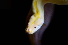 Gele python Royalty-vrije Stock Afbeeldingen