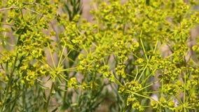 Gele raapzaadbloemen in de wildernis, Iran stock footage