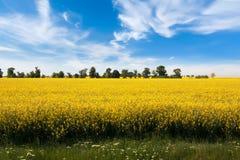 Gele raapzaadbloemen op gebied stock afbeelding