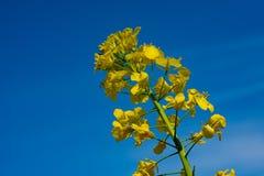 Gele raapzaadbloesem v??r een blauwe hemel royalty-vrije stock afbeeldingen