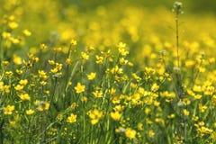 Gele Ranunculus acris op de Lente Sunny Lawn Stock Foto's