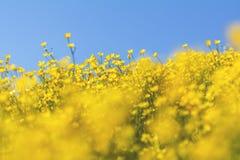 Gele Ranunculus acris op de Lente Sunny Lawn Royalty-vrije Stock Afbeelding