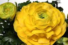 Gele Ranunculus Asiaticus stock afbeeldingen