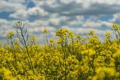 Gele rapefield royalty-vrije stock afbeeldingen