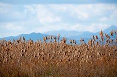Gele riet en bergen. royalty-vrije stock fotografie