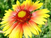 Gele rode bloem Stock Afbeelding