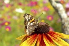 Gele rode chrysant met vlinder Stock Fotografie
