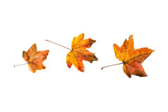 Gele/Rode de herfstbladeren op witte achtergrond Stock Foto