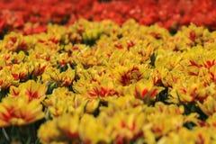 Gele rode tulpen op een gebied royalty-vrije stock afbeeldingen