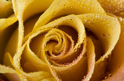 Gele ros royalty-vrije stock afbeeldingen