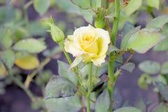 Gele rosa Royalty-vrije Stock Foto